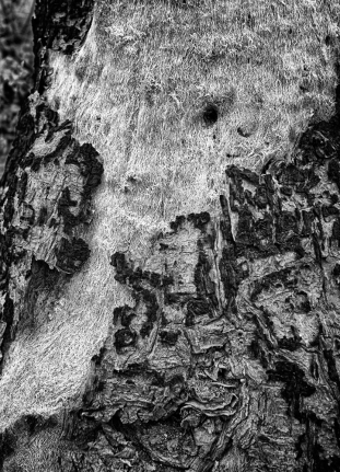 After fire bark reveals fur interior in b and w