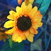 Golden daisy